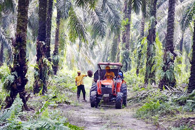 Workers harvest oil palm fruit at PT Kimia Tirta Utama's oil palm plantation in Siak regency, Riau, in this illustration photo.