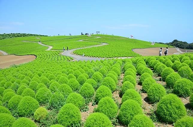 掃帚草從7月開始,更長出一片翠綠。(互聯網)