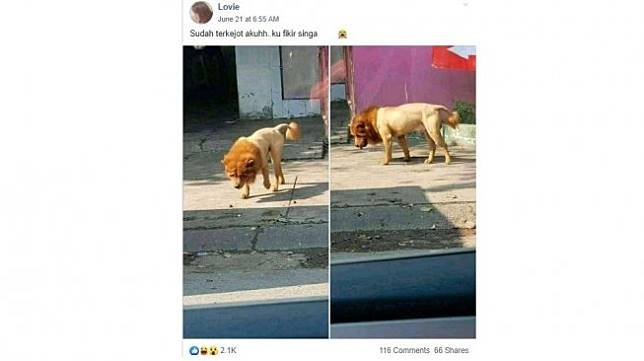 Penampakan singa jadi-jadian. (Facebook/ Lovie)