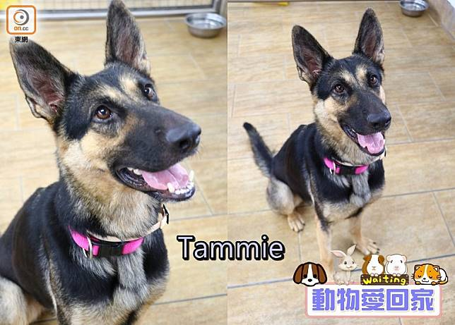活力充沛的Tammie為人友善,能夠與其他狗狗相處融洽。(愛協提供)
