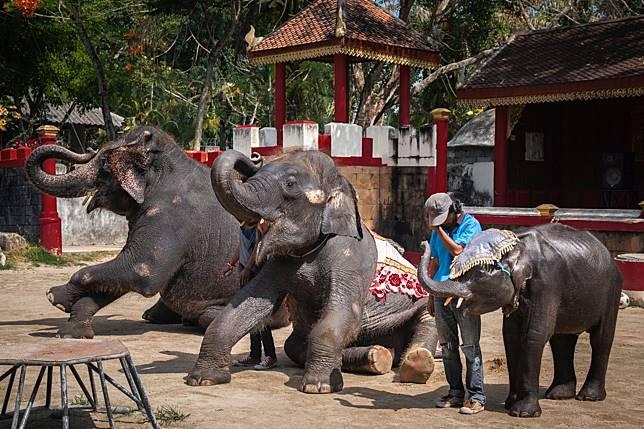 Bayi gajah di kebun binatang Thailand mati setelah melakukan atraksi.
