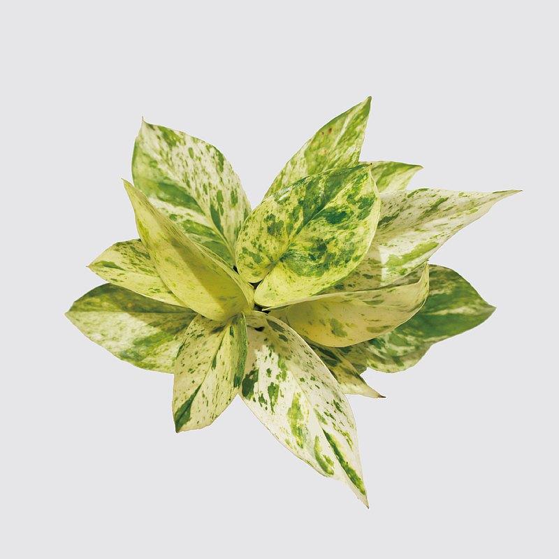 葉面共呈現牛奶色、萊姆綠色及深翠抹茶色等漸層色系;看起來可愛又夏天,屬於夏天必備的涼感植物。