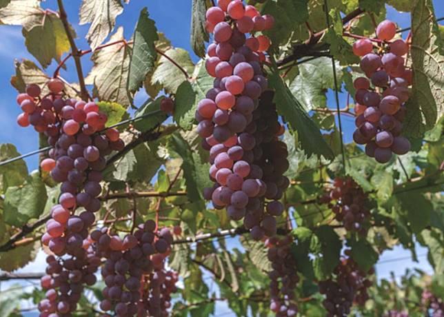 用甲州釀造的葡萄酒風格細膩,白葡萄酒質地順滑。(互聯網)