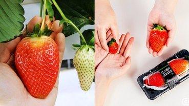 比手掌還大的巨無霸草莓!韓國新品種「KINGS BERRRY」大爆紅,草莓控還不吃爆!