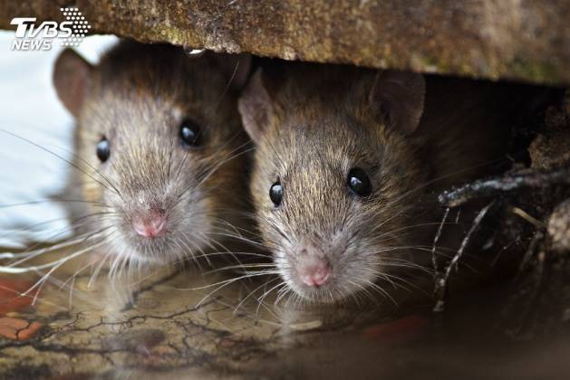 野老鼠人人懼怕。示意圖/TVBS