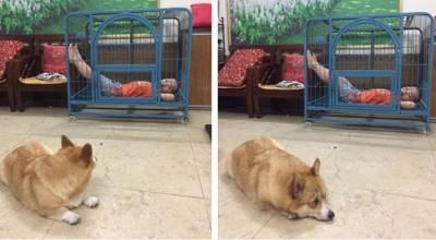 Bị cậu chủ 'chiếm dụng' chuồng, chú chó đáng thương chỉ biết ngồi nhìn bất lực khiến dân mạng cười đau ruột