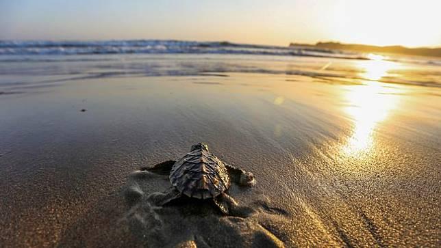 Wisata Pantai Berbasis Konservasi Penyu Ada Di Sukabumi
