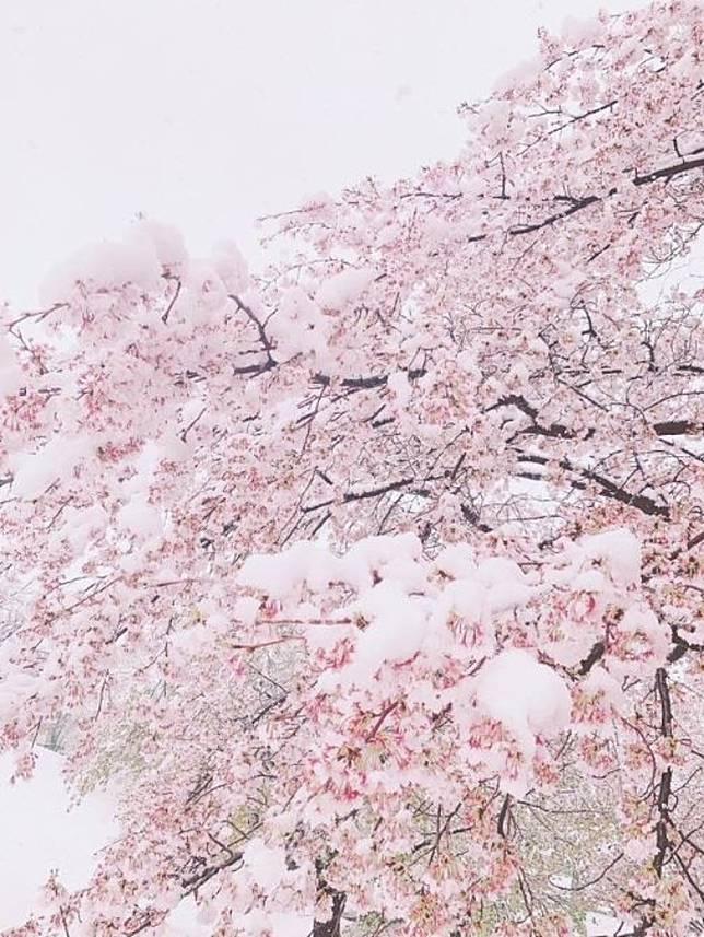 樹上的櫻花在雪下隱隱透著原本的顏色,配上不同的背景都有不一樣的感覺。(互聯網)