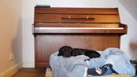 Oscar si anjing, tidur di tempat tidurnya di atas palet jika terjadi banjir lebih lanjut di rumahnya yang membanjiri Burrowbridge di Somerset Levels di barat daya Inggris 10 Februari 2014. (Foto: REUTERS/Luke MacGregor)