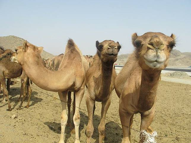 Unta adalah makhluk tertangguh dan diandalkan para suku padang pasir.