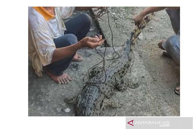 Warga tangkap seekor buaya muara di Pantai Gunungsitoli