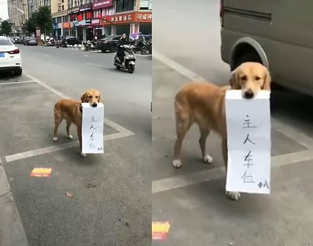 ▲狗狗咬著「主人車位」的告示站在停車格上,讓網友笑翻。(圖/翻攝自抖音)