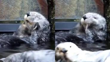 超萌海獺搓臉影片被瘋傳!躺河邊閉眼按摩超療癒!網友:「有重播好幾次的魔力」
