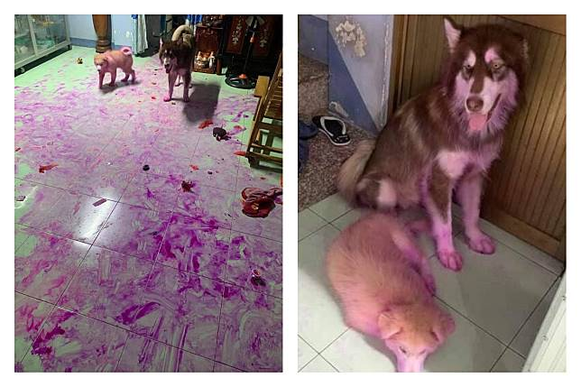 ▲有網友分享哈士奇偷吃火龍果,造成客廳磁磚和狗崽身上全染成紫色的模樣,讓大家笑翻。(圖/翻攝自爆廢公社公開版臉書)