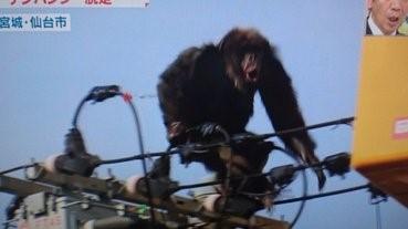 現實版《King Kong》,仙台猩猩出走記