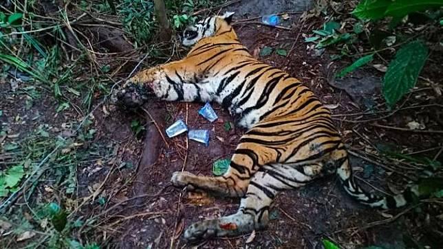 Harimau sumatra mati yang ditemukan di konsesi PT Arara Abadi yang merupakan anak perusahaan APP Sinar Mas.