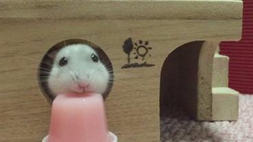 倉鼠用小嘴「高速」狂嗑草莓果凍 可愛模樣令人融化!