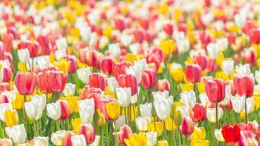 日本春季除了櫻花還有哪些看點?日本春天賞花精選
