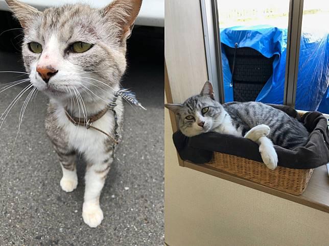 撿到可憐走失貓暫收留 3個月後竟變身「重量級」貓社長!