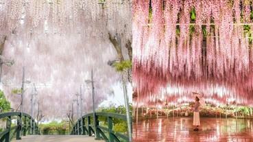 櫻花季結束別難過!內行日本通都在等春末夏初的「絕美紫藤花」開!