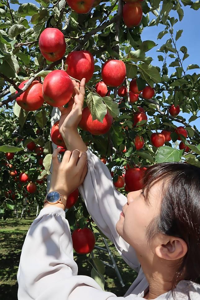 蘋果樹都偏矮,採摘基本上沒甚難度。(劉達衡攝)