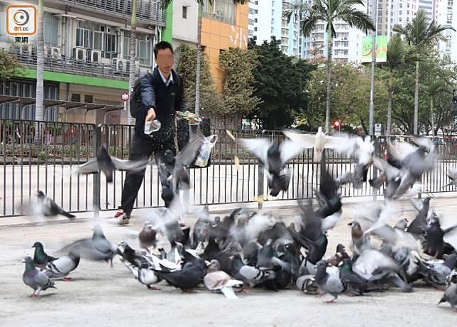 市民不時以雀粟或麵包屑等餵鴿,引致野鴿聚集。