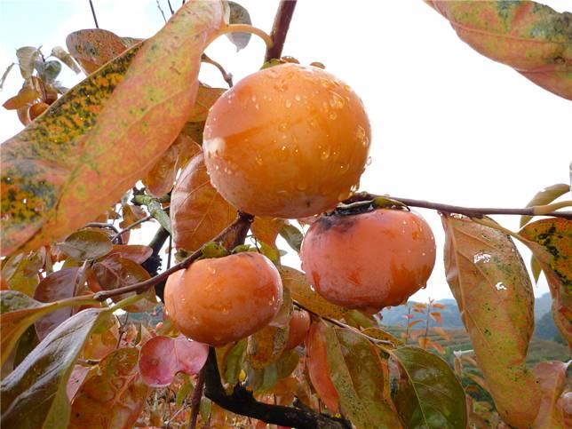 秋冬季節甜柿葉片及果實均轉為橙紅色,為山區增添一抹色彩。(圖片來源:農委會提供)