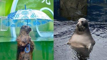 這是工讀生扮的吧!網友驚見日本水族館超有戲海豹,神似「澡堂泡湯的歐吉桑」!