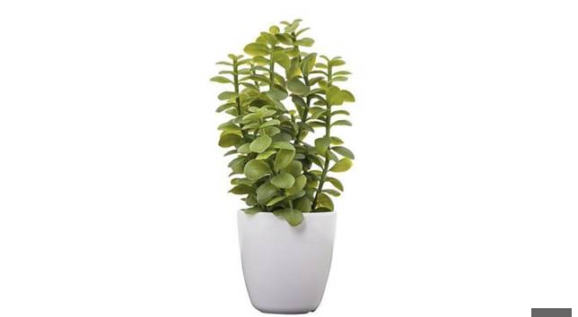 Jade Plant Tanaman Pembawa Kekayaan