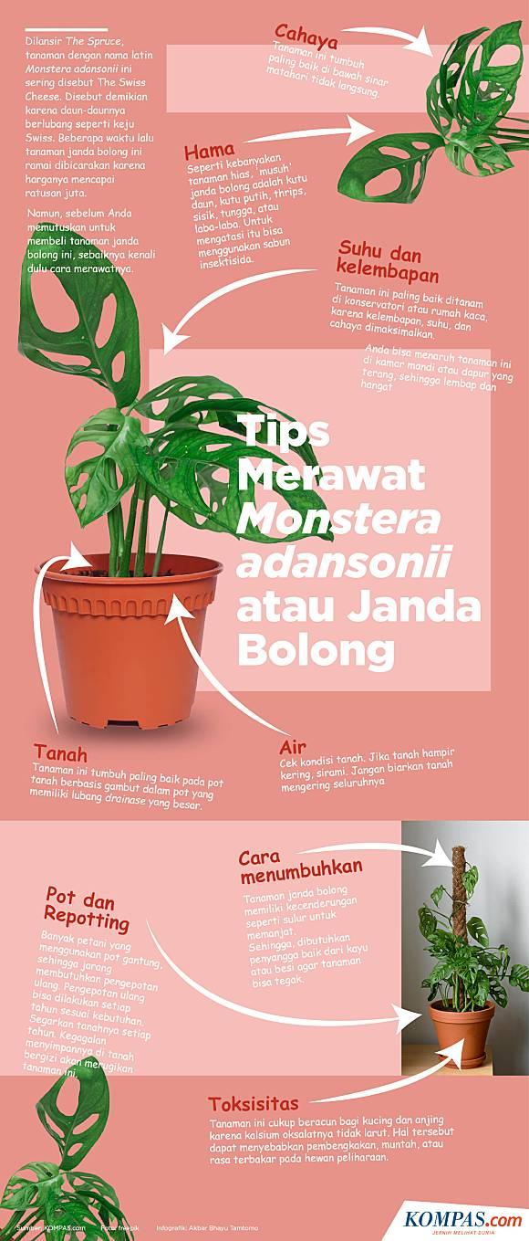Infografik Tips Merawat Monstera Adansonii Atau Janda Bolong Kompas Com Line Today