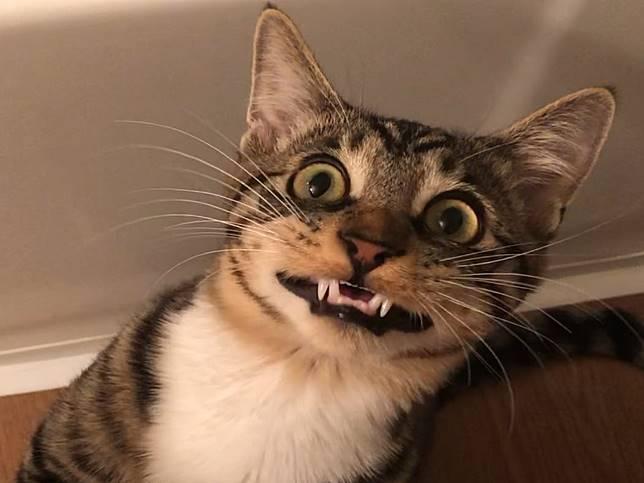 怪癖貓咪愛說話還是行動表情包 飼主笑:養到狗!