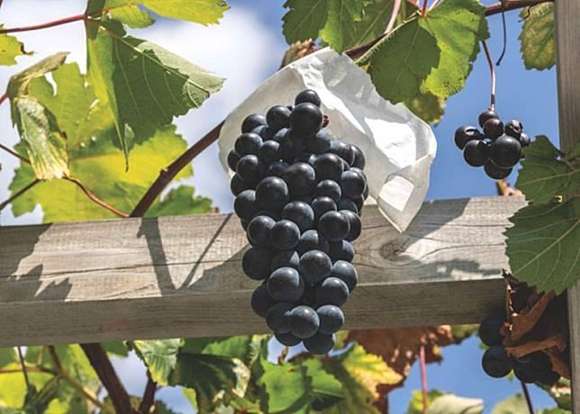 貝利A麝香是最早收錄於O.I.V.(國際葡萄·葡萄酒組織)葡萄名冊的兩個品種之一。(互聯網)
