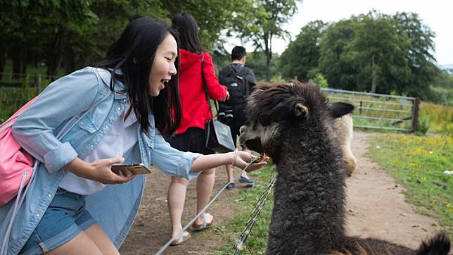 Chinese tourists are flocking to an English alpaca farm because the animal sounds like a swear word